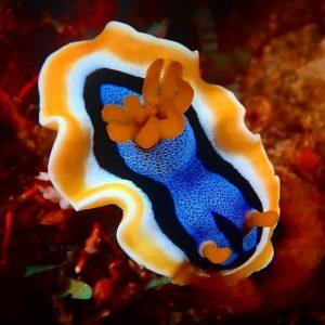 Chromodoris -Nudibranch siput laut yang mungil, seksi dan cantik