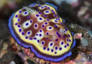 Goniobranchus -Nudibranch siput laut yang mungil, seksi dan cantik
