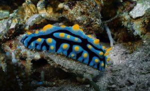 Phyllidia -Nudibranch siput laut yang mungil, seksi dan cantik