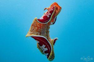 Spanish Dancer -Nudibranch siput laut yang mungil, seksi dan cantik